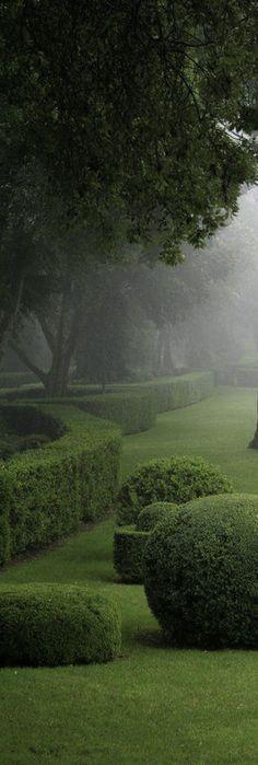 Morning mist in the garden ~boxwood hedges