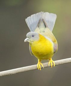 Beautiful Yellow Footed Pigeon