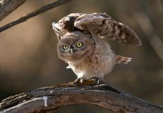 Little Owl (Athene noctua) juvenile. Photo by Danny Laredo.