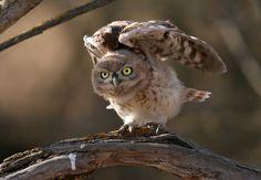 A juvenile Little Owl (Athene noctua) exercising his wings before it's 1st Flight