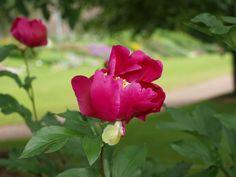 Gardenia-Helsinki Helsinki, Rose, Flowers, Plants, Pink, Plant, Roses, Royal Icing Flowers, Flower