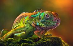 Beautiful Photos Of Natural Animals I think this is am iguana, but I have never seen one with these colors.I think this is am iguana, but I have never seen one with these colors. Beautiful Creatures, Animals Beautiful, Cute Animals, Wild Animals, Beautiful Images, Reptiles And Amphibians, Mammals, Wildlife Photography, Animal Photography