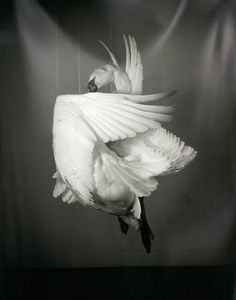 Richard Learoyd, Swan, 2013, gelatin-silver contact print