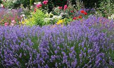 Lavendelstrauch
