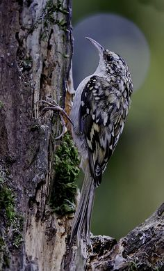 Tree creeper by wayne street**