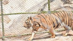 Rescued Tigers Might Be Sent Back To Nightmare 'Temple'