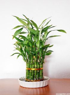 A Houseplant That Grows In Water: Lucky Bamboo Care Tips. Lucky Bamboo is a fascinating houseplant that grows in water. It's great for beginning gardeners. Here you'll find lucky bamboo care tips. Lucky Bamboo Care, Lucky Bamboo Plants, Bamboo Tree, Bamboo Palm, Best Plants For Home, Best Indoor Plants, Water Plants, Cool Plants, Garden Plants