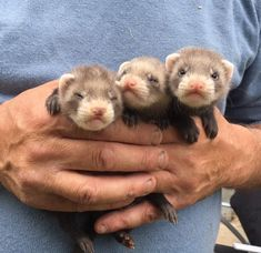 Little bebe furret! Baby Ferrets, Pet Ferret, Cute Ferrets, Baby Otters, Cute Baby Animals, Animals And Pets, Funny Animals, Animals Beautiful, Beautiful Creatures