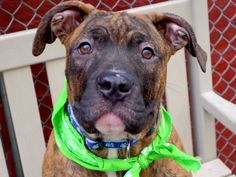 SAFE 4/23/2015 --- Manhattan Center BOBBY – A1032921  MALE, BR BRINDLE, PIT BULL MIX, 7 mos STRAY – STRAY WAIT, NO HOLD Reason STRAY Intake condition UNSPECIFIE Intake Date 04/12/2015