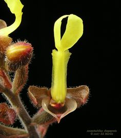 Anoectochilus chapaensis orchid
