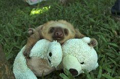 Pic By HotSpot Media - SLOTH SANCTUARY -IN PIC- A cute baby sloth cuddles up to its teddy bear at the sloth sanctuary, Costa Rica - SNUGGLIN...
