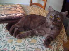 cats living in luxury homes British Chocolate, British Shorthair, Cat Breeds, Cats And Kittens, Luxury Homes, My Favorite Things, Cute Animals, Kitty, Midget Cat
