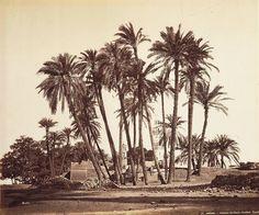 Félix Bonfils Antinoe Sheikh Abaddehs Palm Tree (Egypt) ca 1867-1876