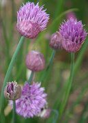 growing chives, chive flower