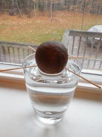 Avocado pit submerged in water