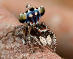 Peacock spider  - Maratus harrisi (Arthropoda: Chelicerata: Arachnida: Araneae) by Jurgen Otto, via Flickr