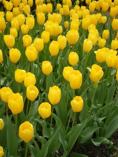 Yellow Tulips for the spring landscape! I chose yellow because I think it is a great accent color. Plus the 70s were a time of bright fun colors. I also thing that it reminds me of sunshine and wanting to be outside. What better place for that than a garden