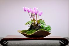 Kusamono - Cyclamen purpurascens. Quelques graines récoltées dans un sous-bois jurassien, semées dans un jardin du Pas-de-Calais et à chaque automne, le plaisir de voir ces petits boutons sortir. Le Jardin de Kanojo ==> http://lejardindekanojo.free.fr/?p=2926