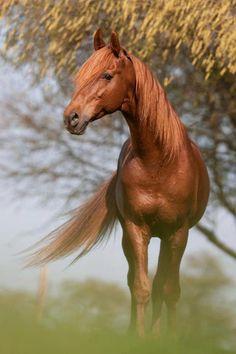 Beautiful Chestnut #horses #bokeh #photography