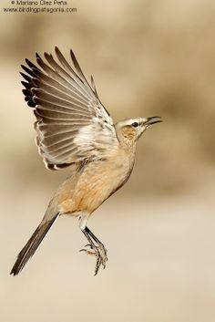 Sinsonte patagón, tenca patagónica, calandria chica o calandria patagónica, - Patagonian Mockingbird (Mimus patagonicus)