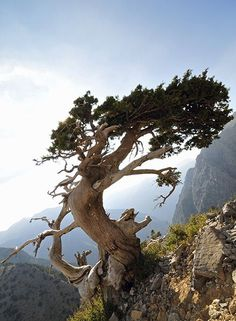 On The Net Landscape Design And Style - The New On-line Tool That Designers Are Flocking To For Landscape Designs Www. Landscape Photography, Nature Photography, Weird Trees, Bristlecone Pine, Twisted Tree, Lone Tree, Unique Trees, Cypress Trees, Old Trees