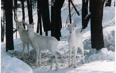 Nearly every year there's at least one new albino faun near Marquette, Michigan. Seeing one is as surreal as seeing a ghost walk through your yard.