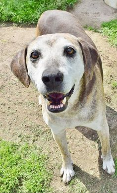 *****SENIOR NOT AVAILABLE FOR RESCUE OR ADOPTION AT THIS TIME *** 04/12/16-IOLA, TX - Betty's Adoptable Sanctuary Dogs ·  Scarface is a super sweet boy! He is about 14 years old. I think he is a pointer/hound mix. He enjoyed our visit! He would love to live out his golden years in a home with a family of his own…and a nice cooshy bed!  More end of the day photos. frown emoticon  The dogs are located in Iola, Texas, which is near Navasota and Bryan College Sta