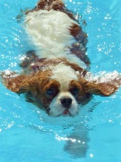 This Cavalier certainly has the right idea about staying cool!