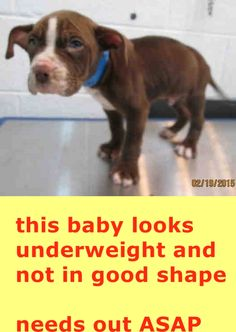 CAM (A1681253)I am a male chocolate and white Pit Bull Terrier. The shelter staff think I am about 9 weeks old and I weigh 8 pounds. I was found as a stray and I may be available for adoption on 02/27/2015. — hier: Miami Dade County Animal Services. https://www.facebook.com/urgentdogsofmiami/photos/pb.191859757515102.-2207520000.1424468722./932060450161692/?type=3&theater