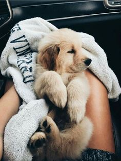 The most adorable golden retriever puppy going home for the first time. Super Cute Puppies, Cute Baby Dogs, Cute Little Puppies, Cute Dogs And Puppies, Cute Little Animals, Cute Funny Animals, Doggies, Cutest Dogs, Cute Pups