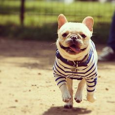 OMG french bulldog in a french striped tee? TOO MUCH