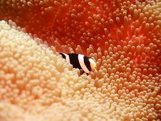 Nemo in his anemone. Dive in Bali and stay at Villa Tengguli www.villatengguli.com