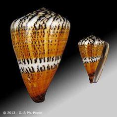 Conus capitaneus - P.Poppe