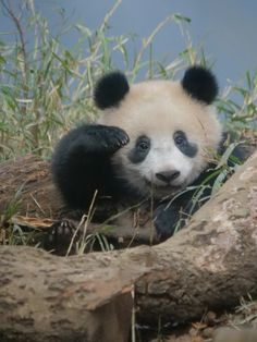 They look beautiful already and when they smile . You want nothing else in life Panda Bebe, Cute Panda, Animals And Pets, Baby Animals, Cute Animals, My Spirit Animal, My Animal, Baby Panda Bears, Baby Pandas