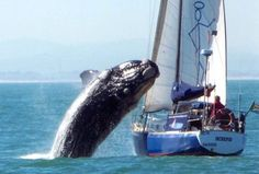 Right whale surprises yachting couple near Cape Town in South Africa. Fortunately both the whale and passengers survive. Passengers from another yacht took this amazing shot. Orcas, Animal Attack, Perfectly Timed Photos, Whale Watching, Sea World, Marine Life, Cape Town, Belle Photo, Funny Pictures
