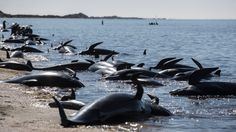 Rotting whale carcasses from Golden Bay wash up at Kapiti Island