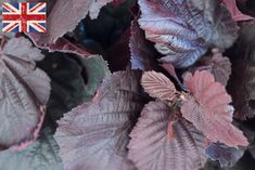 British Red Hazel, Autumn Foliage at New Covent Garden Flower Market - October 2015 New Covent Garden Market, Flower Market, Greenery, Berries, October, British, Flowers, Plants, Autumnal