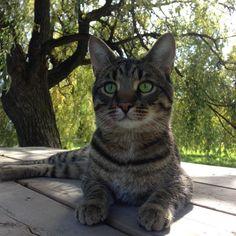 Lost Cat - Tabby - Kleinburg, ON, Canada