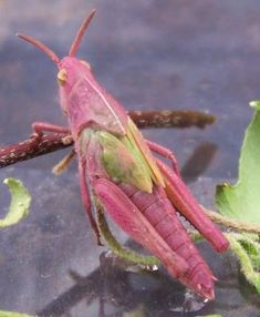 Photo by Sherry Young Northern Green Striped Grasshopper: Pink/Purple form Cool Insects, Bugs And Insects, Colorful Animals, Nature Animals, Beautiful Bugs, Amazing Nature, Reptiles, Cool Bugs, Image Nature