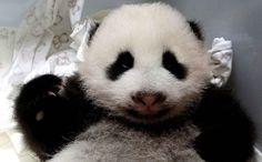Ce petit bébé panda est gardébienau chaud par les soigneurs du zoo de Taipei, en Chine.