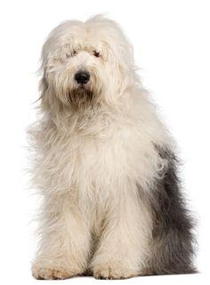 Black Old English Sheepdog | Breed: Old English Sheepdog
