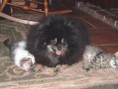 Moomba taking care of her kittens.