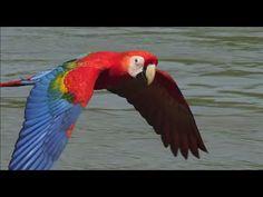 Scarlet Macaws take their medicine. Earthflight (Winged Planet) Narrator...