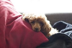 Toy Poodle   Flickr - Photo Sharing!