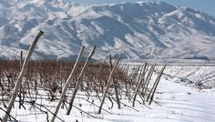 The extraordinary micro-climate of the region combined with an exceptional terroir yield Zorah's forty hectare vineyard with magnificently healthy fruit. Long dry summers, with remarkably vivid sunlight and high daytime temperatures contrast with cool nights encouraging a lengthy growing season and pushing harvest to the end of October. The rocky soils, rich in limestone, help maintain moisture for the vines during the intense summer heat while the slow ripening ensures the development of…
