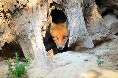 Fox Dens | All You Need To Know Fox Information, Young Fox, Fennec Fox, Arctic Fox, Tree Stump, Forest Animals, Red Fox, Predator, Foxes