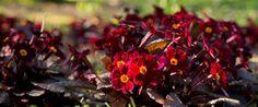 Primula vulgaris 'Innisfree' Ex Love, The Warden, Shield Maiden, Innisfree, Plants, Flora, Plant, Planting