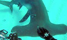 GoPro on hammerhead shark
