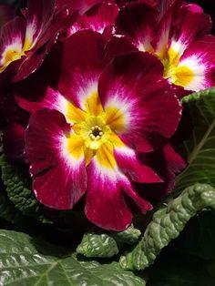 """Primula-""""Den første om våren"""" i nesten alle regnbuens farger Den, Plants, Plant, Planting, Planets"""