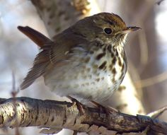 Hermit Thrush Catharus guttatus photos